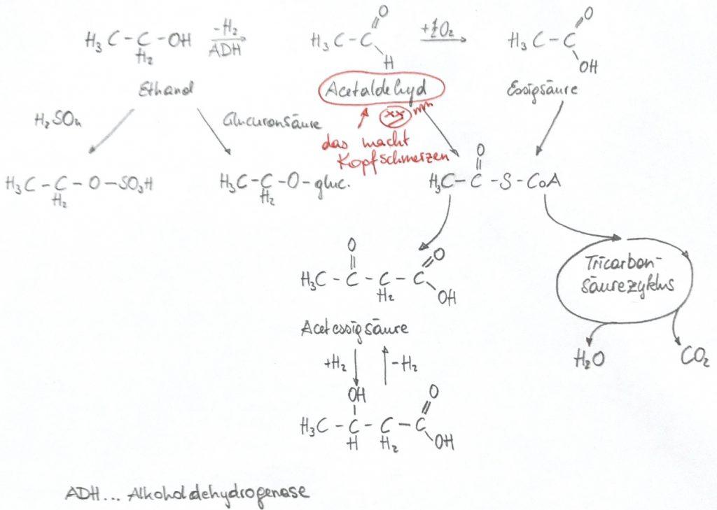 Ethanol wird zu Acetaldehyd und weiter zu Essigsäure abgebaut. Acetaldehyd beschert uns den Kater. Der Rest wird vom Körper zu Wasser und Kohlenstoffdioxid abgebaut...
